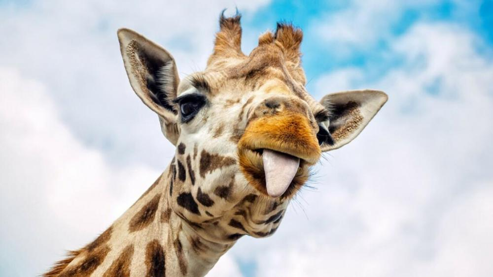 cinq-choses-que-vous-ne-saviez-pas-sur-la-girafe.jpg